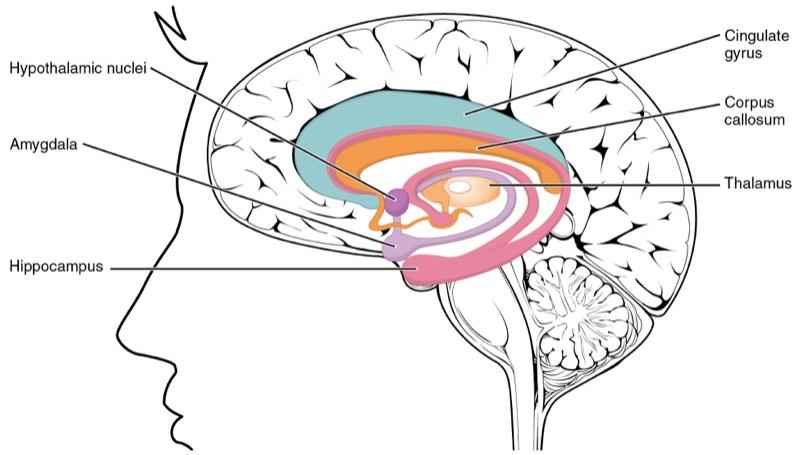 sistema-limbico
