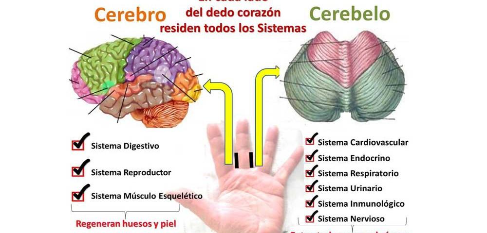estimular-cerebro-dedos-corazon