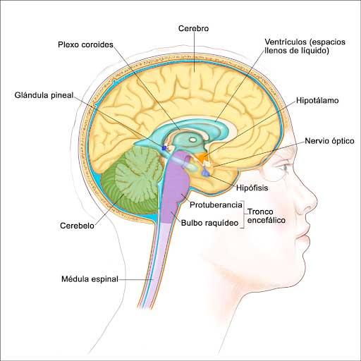 Glándula pituitaria Significado
